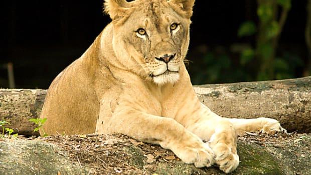 Lion Kills Hunter