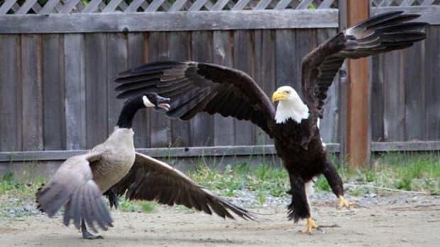Battle Of The Birds: Bald Eagle Vs. Canada Goose (Video) Promo Image