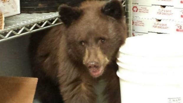 Bear Cub In Pizzeria.