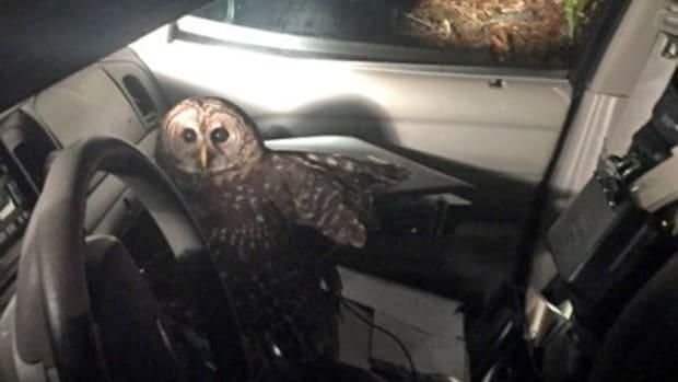 owl in Officer Benjamin's car