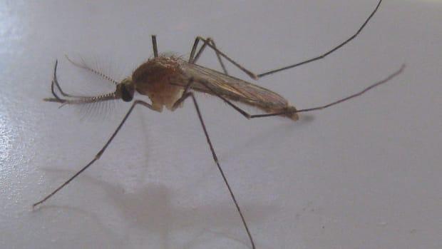 A Culex mosquito.