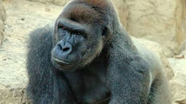 Harambe Affectionately 'Protecting' Boy (Video) Promo Image