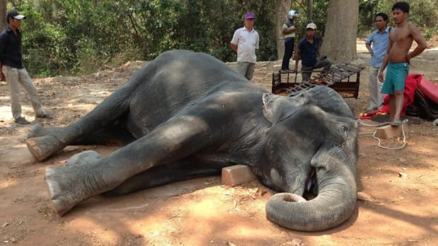Elephant Dies While Carrying Tourists To Famous Temple Promo Image