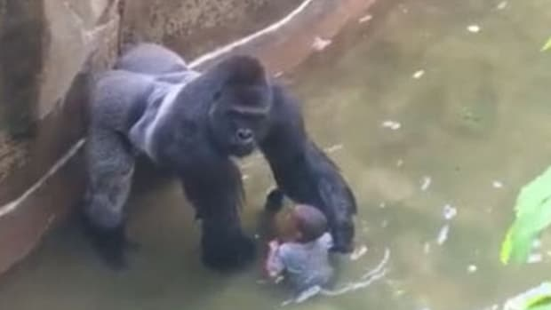 Clip Shows What Gorilla Was Doing Inside Pit (Video) Promo Image