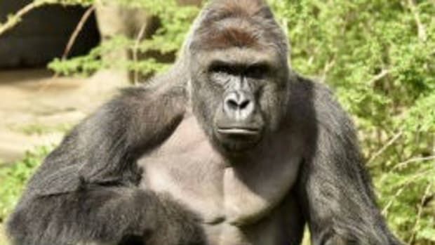Expert Says Screaming Crowd Is To Blame For Harambe's Death Promo Image