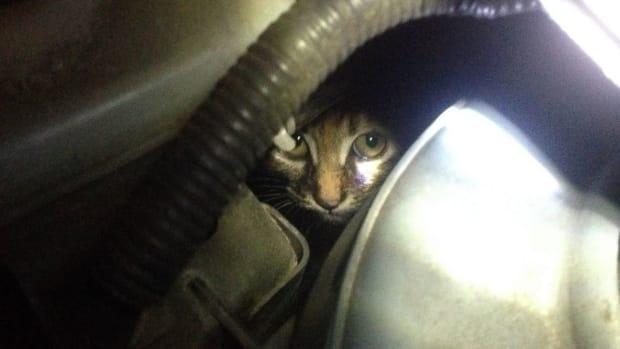 kitten hiding underneath car's hood