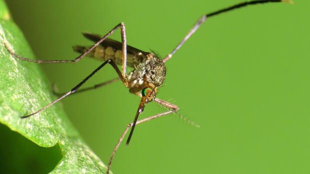 Woodland Mosquito