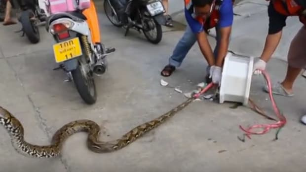 Man Pries His Penis Loose From Python's Jaws (Video) Promo Image