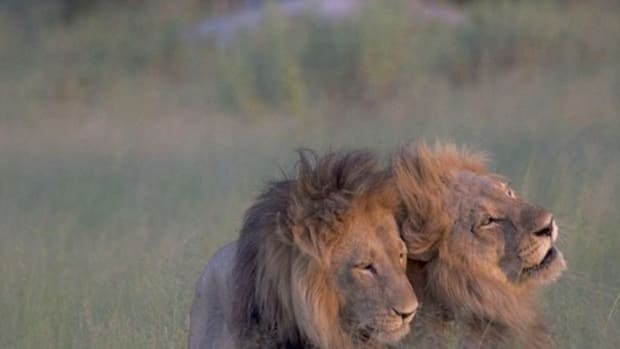 Photos Of Mating Lions Goes Viral After People Realize Who's In Them (Photos) Promo Image
