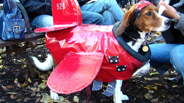 Dog Dressed As Plane.