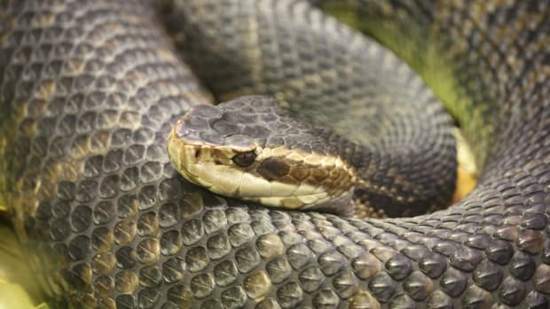 Water Moccasin.