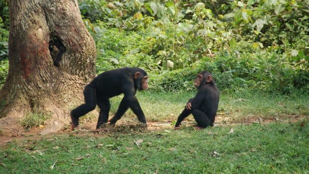 Do Chimps Practice Religion? Promo Image