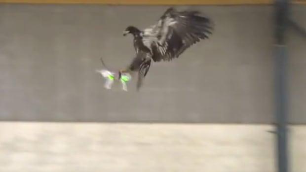 Eagle attacks drone