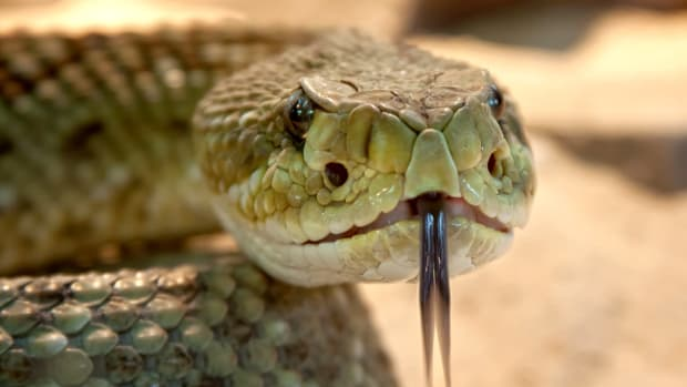 close up of a rattlesnake's head with tongue out