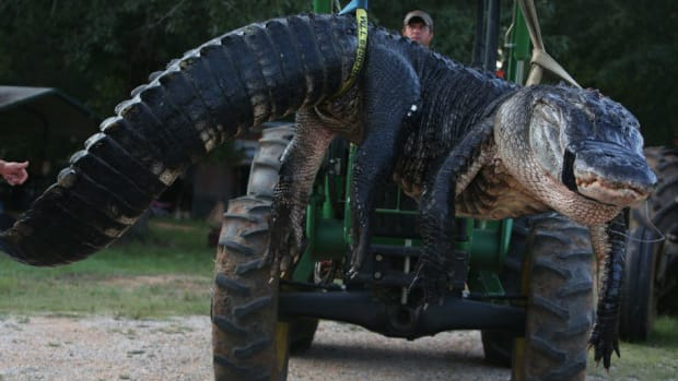 Shocking Discovery Made Inside 15-Foot Gator (Photos) Promo Image