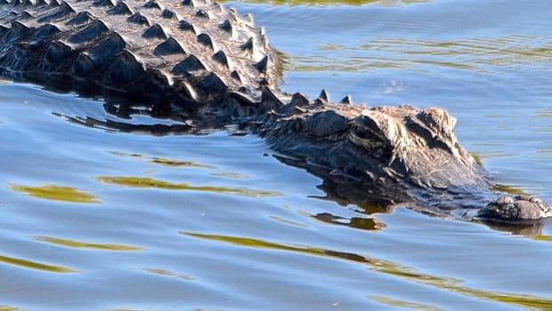 Disney Posts Alligator Warning Signs After Boy Killed Promo Image