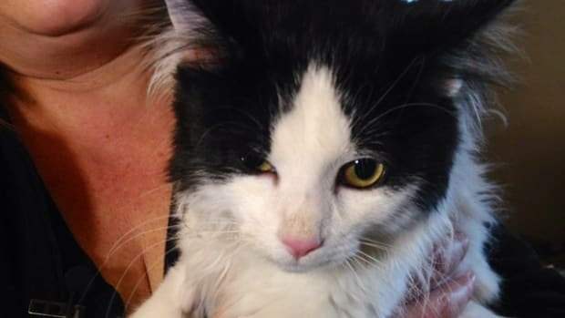 Cat Left Blind And Deaf Following Surgery Promo Image
