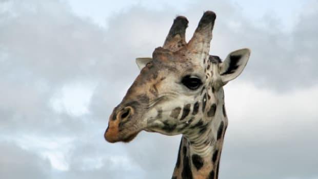 giraffeneck3_featured.jpg