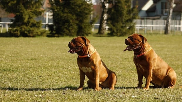Elderly Woman Attacked And Killed By Pet Mastiff Promo Image