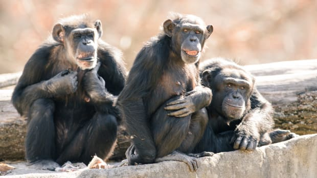 Chimps Murder And Cannibalize Their Former Tyrant Promo Image
