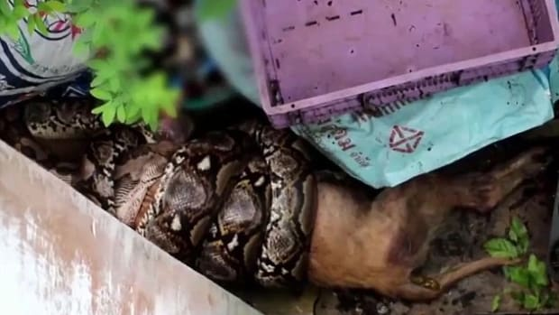 Video Shows Python Eating Dog (Video) Promo Image