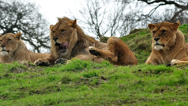 Lions Save Girl Who Was Abducted, Beaten By Seven Men Promo Image