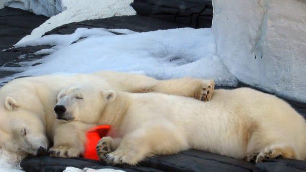 SeaWorld Polar Bear Dies Of Suspected Broken Heart Promo Image