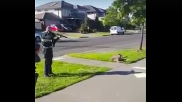 Cop Shoots Injured Kangaroo In Front Of Child (Video) Promo Image
