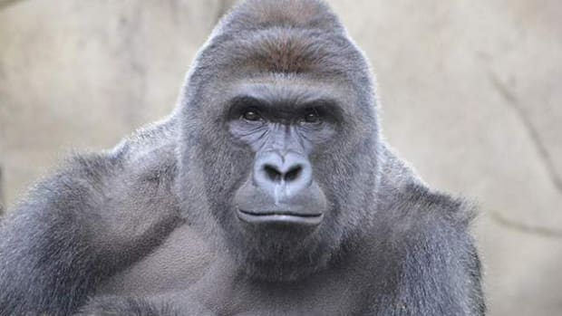 New Development In Harambe Death Investigation Promo Image