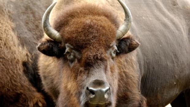 American Bison Designated As National Mammal Promo Image