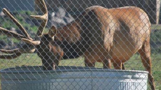 This Elk Might Be The Best Lifeguard Ever (Video) Promo Image