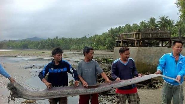 Bad Omen? Multiple Oarfish Wash Onto Philippine Beaches (Photos) Promo Image