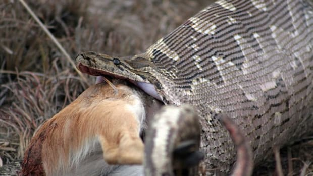 Farmers Shocked By What Was Inside Captured Snake (Photos) Promo Image