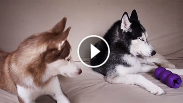 Two Huskies Get Into An 'Argument' (Video) Promo Image