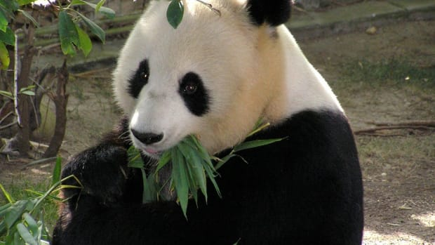 Watch This Mama Panda Put Her Baby Back To Bed (Video) Promo Image
