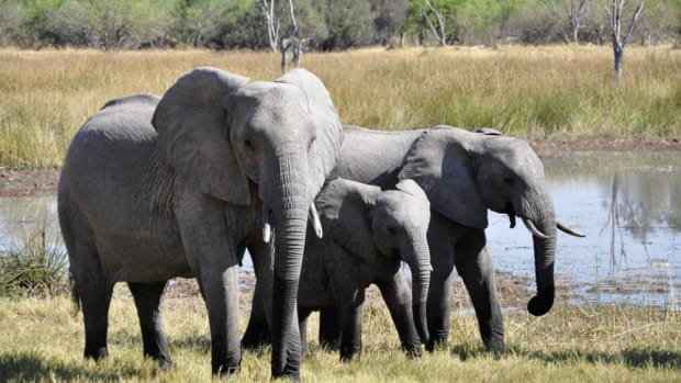 Adult Elephants Save Drowning Calf (Video) Promo Image