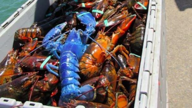 Cape Cod Lobsterman Catches Rare Blue Lobster (Photo) Promo Image