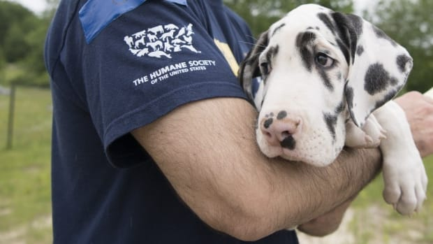 Over 80 Great Danes Rescued From Suspected Puppy Mill (Photos) Promo Image