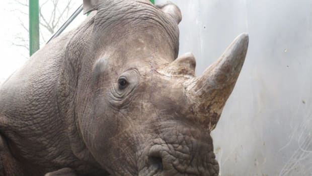Poachers Shoot Rhino Dead In Parisian Zoo, Steal Horn Promo Image