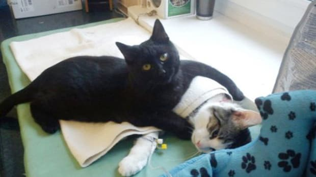 Rescues Cat Comforts Other Animals At Shelter Promo Image