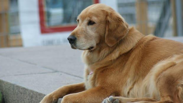 Surgery Saves Abandoned Dog With 46-Pound Tumor (Video) Promo Image