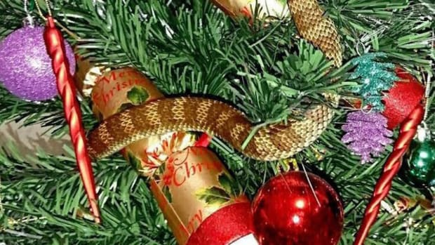 Woman Finds Snake Hidden In Christmas Tree Promo Image