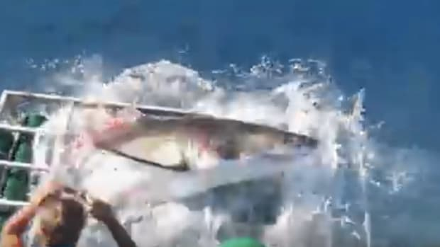 Great White Shark Breaks Into Diver's Cage (Video) Promo Image