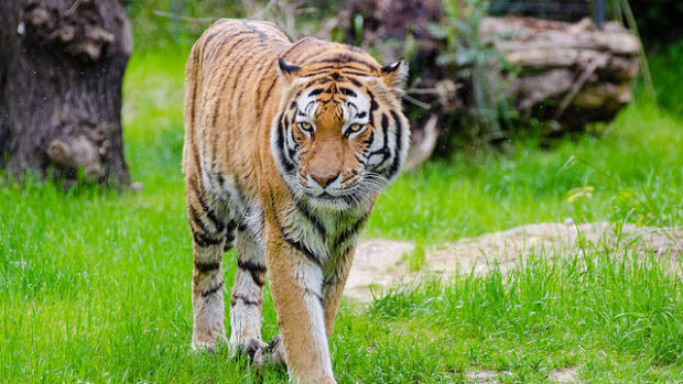 Tigers Attack Women At Wildlife Park (Video) Promo Image