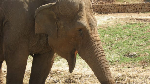 Rescued Elephant Greets Her Human Friend Every Day (Video) Promo Image