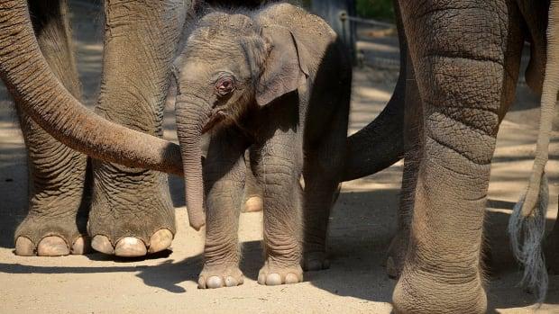 Elephant Herd Protects Newborn Calf During Birth (Video) Promo Image