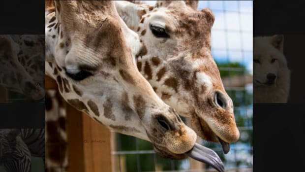 YouTube Pulls Live Stream Of Giraffe Birth For Nudity (Video) Promo Image