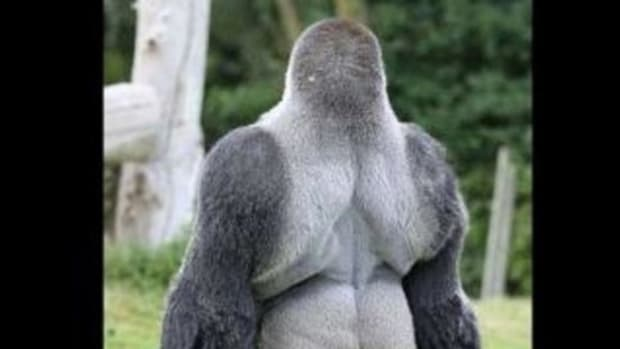 This Gorilla Named Ambam Is Wowing Visitors Across The World (Video) Promo Image