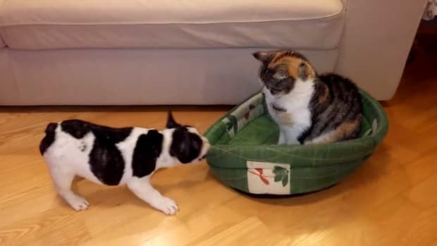 Puppy Fails To Kick Cat Out Of His Bed (Video) Promo Image
