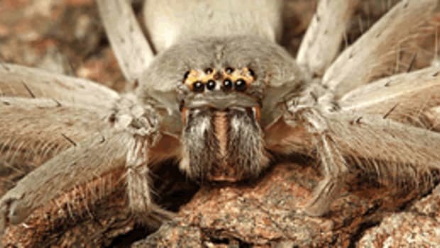 Massive Huntsman Spider Caught Eating A Lizard (Video) Promo Image